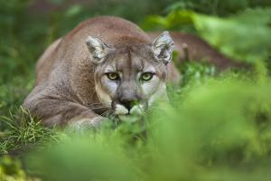 Portrait of a Male Cougar, Felis Concolor, Stalking by Karine Aigner
