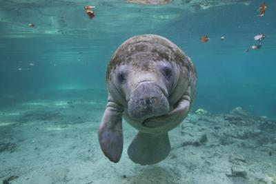 "Portrait of a West Indian Manatee or ""Sea Cow"" in Crystal River, Three Sisters Spring, Florida by Karine Aigner"
