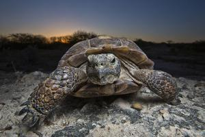Portrait of an Adult Texas Tortoise Walking on Rocks at Sunset by Karine Aigner