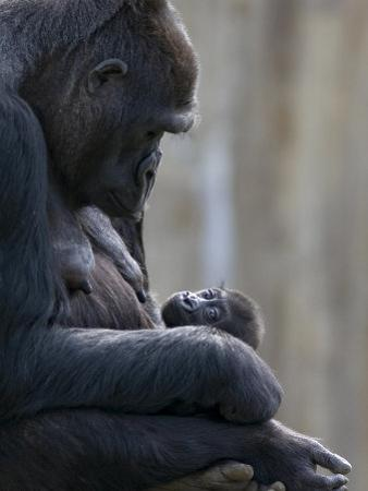 Portrait of Gorilla Mother Looking at Her New Born Baby by Karine Aigner