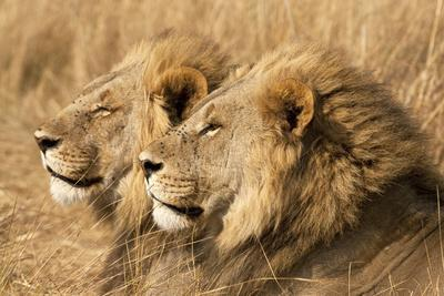 Portrait Of Two Adult Male African Lion Brothers. Linyanti, Botswana 2007