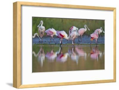 Roseate Spoonbills Foraging and Eating in the Waters of Lake Corpus Christi
