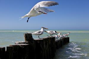 Royal Terns Flying Above the Turquoise Waters of the Gulf of Mexico Off of Holbox Island, Mexico by Karine Aigner