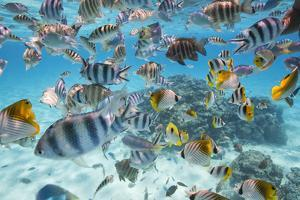 School Of Tropical Fish, Including Butterfly Fish, And Zebra Fish Along A Reef In Bora Bora by Karine Aigner