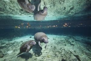 """W Indian Manatee Mother & Baby """"Sea Cow"""" (Trichechus Manatus), Crystal River, 3 Sisters Spring, FL by Karine Aigner"""