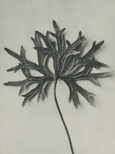 Aconitum anthora by Karl Blossfeldt