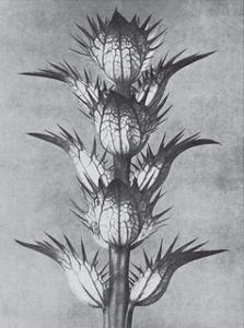 Bear's Breeches by Karl Blossfeldt