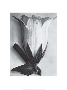Bell Flower by Karl Blossfeldt