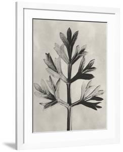 Blossfeldt Botanical I by Karl Blossfeldt