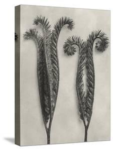 Blossfeldt Botanical II by Karl Blossfeldt