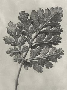 Blossfeldt Botanical III by Karl Blossfeldt