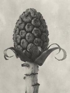 Blossfeldt Botanical IV by Karl Blossfeldt