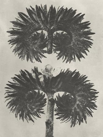 Blossfeldt Botanical V