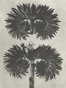Blossfeldt Botanical V by Karl Blossfeldt