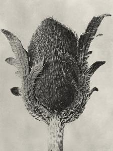 Blossfeldt Botanical VI by Karl Blossfeldt
