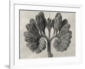 Blossfeldt Botanical VIII by Karl Blossfeldt