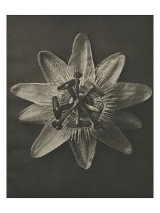 Blossfeldt Flower I by Karl Blossfeldt