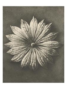 Blossfeldt Flower II by Karl Blossfeldt