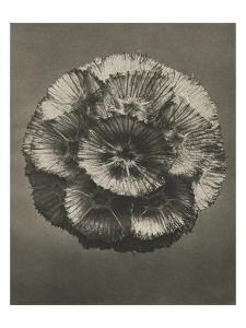 Blossfeldt Flower III by Karl Blossfeldt
