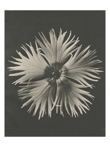 Blossfeldt Flower IV by Karl Blossfeldt