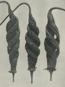 Cajophora lateritia by Karl Blossfeldt