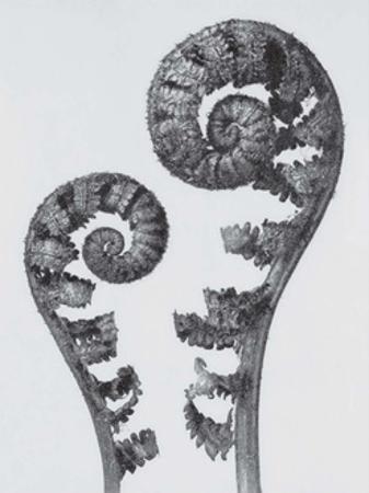 Common Male Fern by Karl Blossfeldt