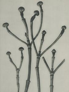 Cornus florida by Karl Blossfeldt