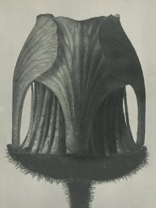 Geum rivale by Karl Blossfeldt