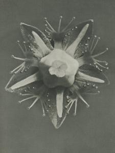 Parnassia palustris by Karl Blossfeldt