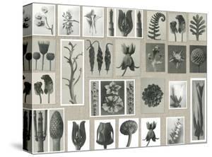 Plant Pictorial by Karl Blossfeldt