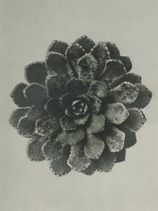 Saxifraga aizoon by Karl Blossfeldt
