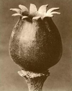 Sepia Botany Study I by Karl Blossfeldt