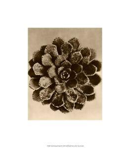 Sepia Botany Study II by Karl Blossfeldt