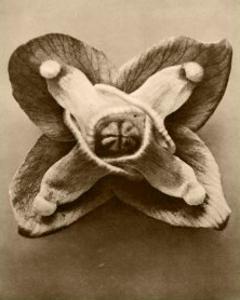 Sepia Botany Study V by Karl Blossfeldt