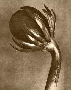 Sepia Botany Study VI by Karl Blossfeldt
