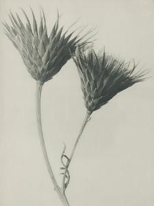 Serratula nudicaulis by Karl Blossfeldt