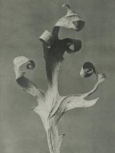Silphium by Karl Blossfeldt