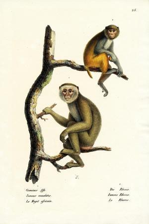 Barbary Macaque, 1824