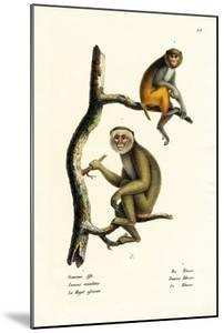 Barbary Macaque, 1824 by Karl Joseph Brodtmann