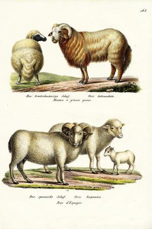 Fat-Tailed Sheep, 1824