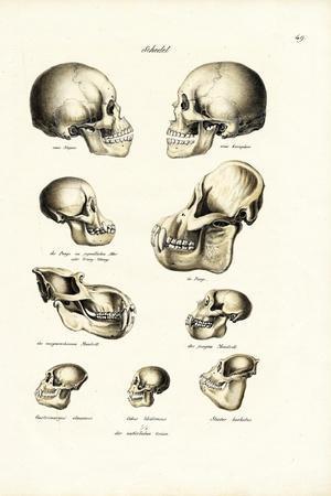 Human Skulls, 1824