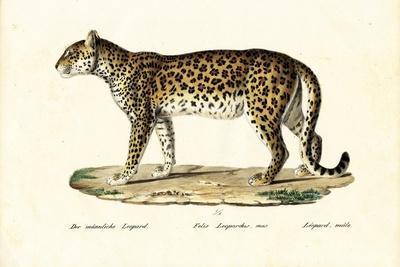 Leopard, 1824