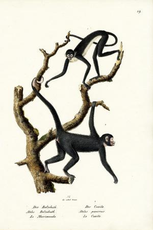 Long-Haired Spider Monkey, 1824