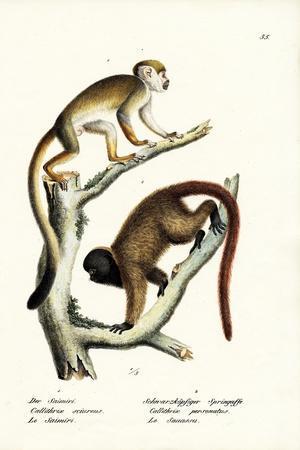 Squirrel Monkeys, 1824