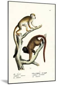 Squirrel Monkeys, 1824 by Karl Joseph Brodtmann