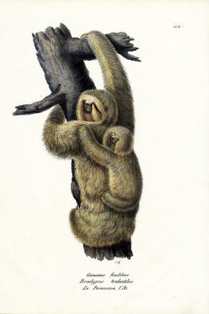 Three-Toad Sloth, 1824