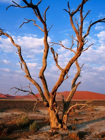 Dead Thorn Tree with Giant Sand Dunes in Distance, Near Sossusvlei