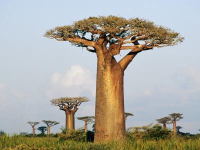 Giant Baobabs (Adansonia Grandidieri) Dotting the Countryside Near Morondava