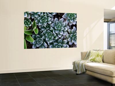 Hinahina (Heliotropium Anomalum Var Argenteum), Indigenous Hawaiian Plant