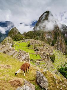 Llama in Machu Picchu, UNESCO World Heritage Site, Cusco Region, Peru, South America by Karol Kozlowski
